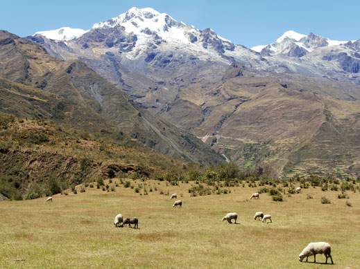 Schafherde mit Blick auf den Illampu, Sorata, Bolivien (Foto Jörg Schwarz)