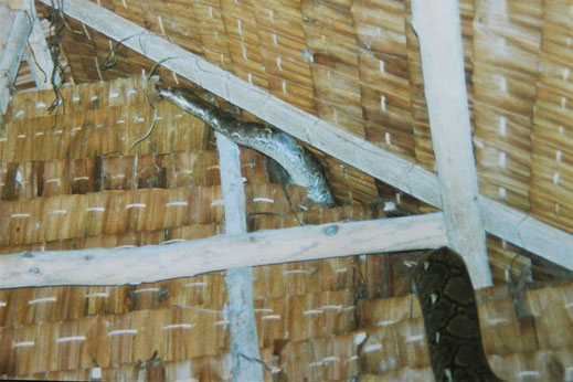 1996: Als uns einst ein Monster-Python in unserer Anlage besuchte... Laem Thian, Koh Tao, Thailand (Foto Jörg Schwarz)