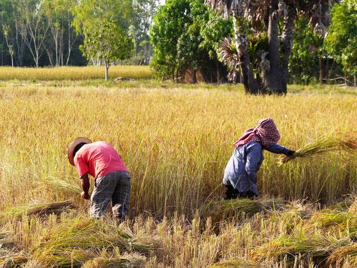 Reisbauern bei der Ernte, Region Takeo, Kambodscha  (Foto Jörg Schwarz)