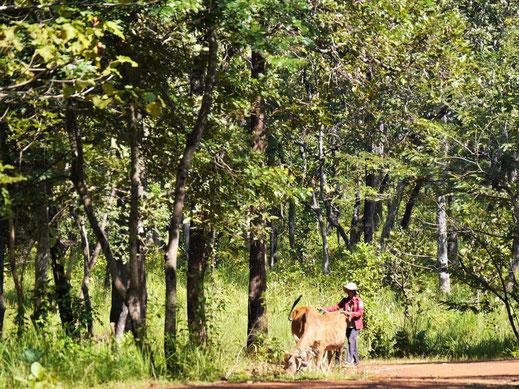Wohin immer man schaut: Land- und Viehwirtschaft bestimmen das Leben der Menschen hier... Region Preah Vihear, Kambodscha (Foto Jörg Schwarz)