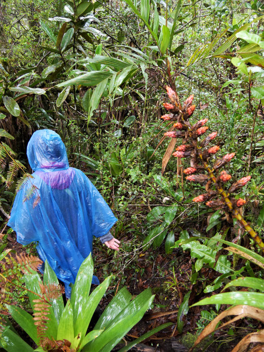 Wir trekken im Regen, lieben aber die dschungelartige Umgebung... Bei Gachantivá, Kolumbien (Foto Jörg Schwarz)