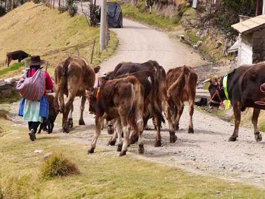 ... und eine andere führt ihre Rinder, bei Uchkus Incañan, Peru (Foto Jörg Schwarz)