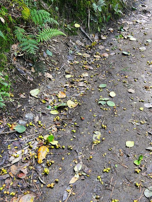 Affen leisten bei der Vernichtung der Früchte ganze Arbeit... Valle de Cocora, Kolumbien (Foto Jörg Schwarz)