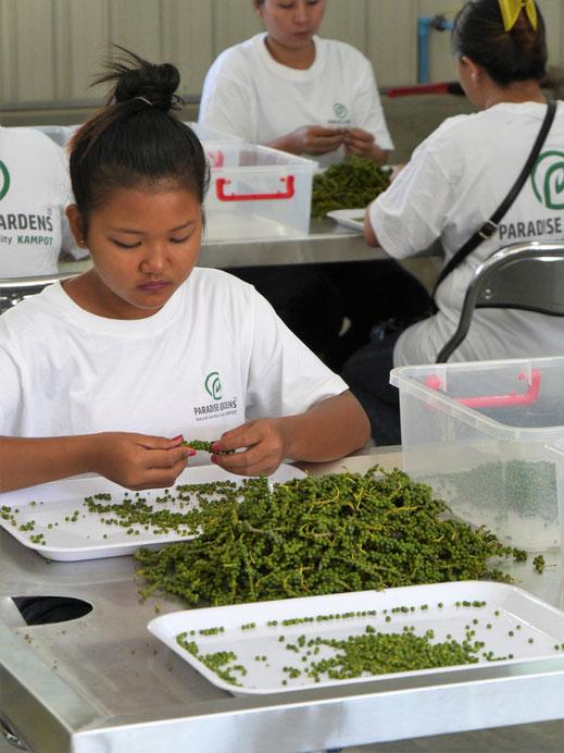 Pfeffer - hier in seiner grünen Ursprungsform - wird per Hand sortiert... Kampot, Kambodscha (Foto Jörg Schwarz)