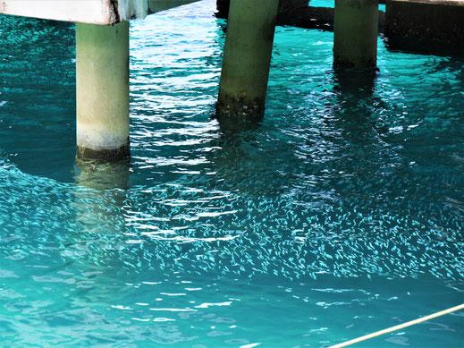 Schon am Pier blickt man von oben auf Schwärme kleiner Fische... Pulau Kapas, Malaysia (Foto Jörg Schwarz)