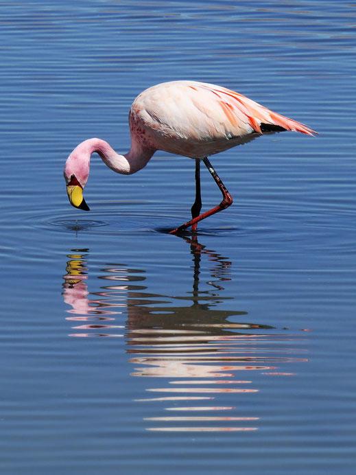 Eine von drei hiesigen Flamingoarten - Wappentier der Spuren | WECHSLER, Reserva de Fauna Andina, Bolivien (Foto Jörg Schwarz)