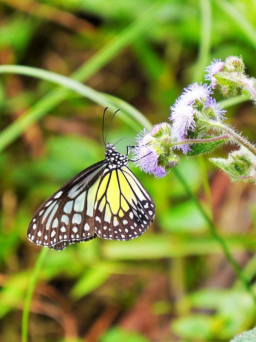 Zahlreiche schöne Schmetterlinge umfliegen und währen der Wanderung, Taiping, Malaysia (Foto Jörg Schwarz)