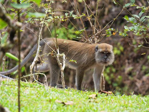 Wir haben hier unzählige Affen unterschiedlichster Arten gesehen... Taiping, Malaysia (Foto Jörg Schwarz)
