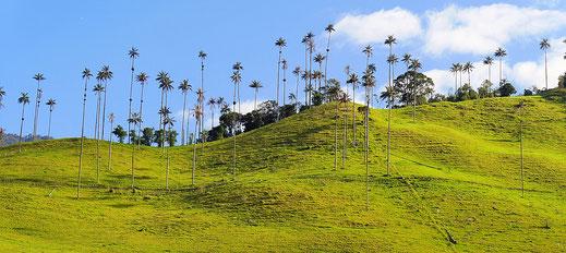 Schon aus der Entfernung imposant: Die 60 m hohen Wachspalmen, Salento,  Kolumbien (Foto Jörg Schwarz)