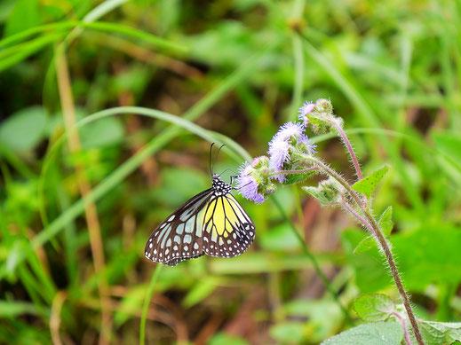 Und Schmetterlinge satt... Taiping, Malaysia (Foto Jörg Schwarz)