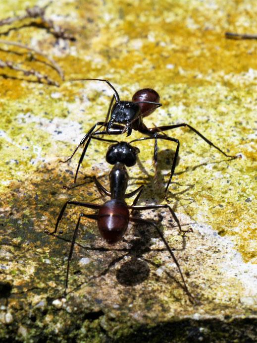 Kampf oder Kommunikation? Riesige Ameisen im Penang Hill, Penang, Malaysia (Foto Jörg Schwarz)