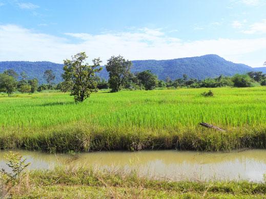 Traumhafte Landschaften und Reisfelder satt... Region Preah Vihear, Kambodscha (Foto Jörg Schwarz)