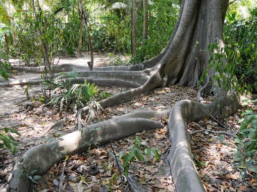 Grossartige Urwaldriesen mit ihren wundervollen Wurzeln, Tayrona Nationalpark, Kolumbien (Foto Jörg Schwarz)