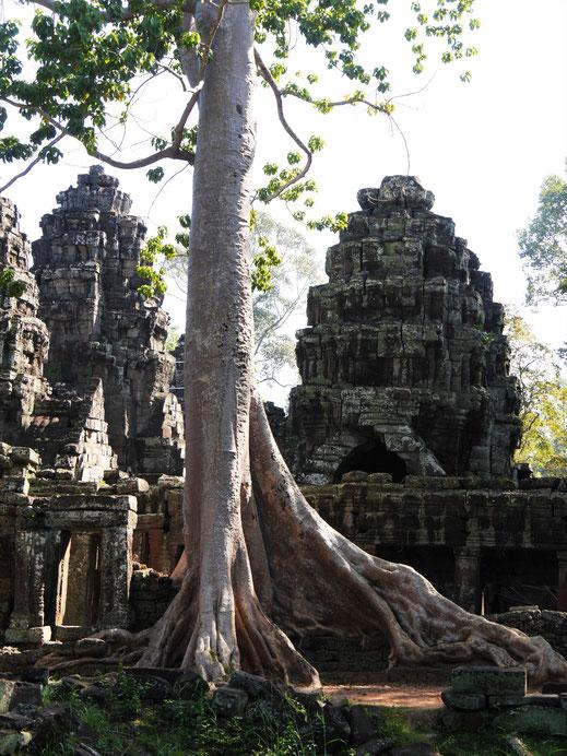Was für ein Baum! Hat sich hier auf die Ruine gesetzt... Banteay Kdei, Kambodscha (Foto Jörg Schwarz)