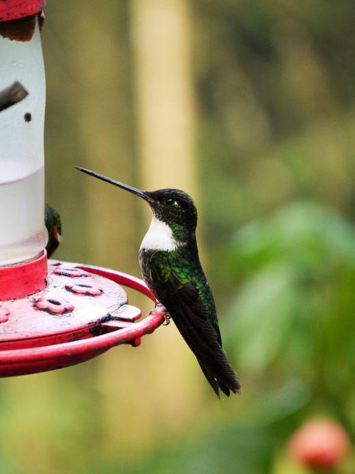Die Kolibris kommen gern zur Hacienda Acaime, Salento, Kolumbien (Foto Jörg Schwarz)