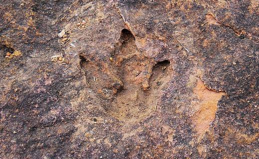 Klarer Fußabdruck eines kleinen Raubsauriers, Toro Toro, Bolivien (Foto Jörg Schwarz)