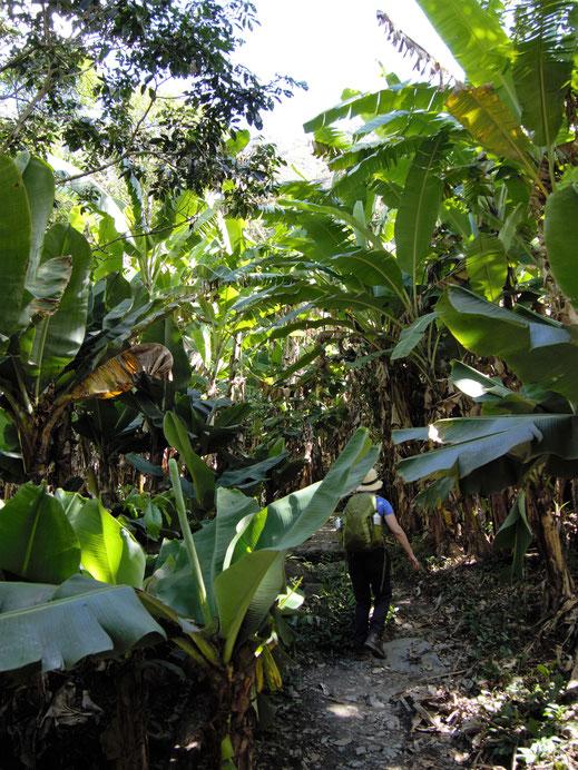 Durch üppige Tropenlandschaft und Banananstauden geht es erstmal aufwärts zu den Gleisen, Hidroelectrica, Peru (Foto Jörg Schwarz)