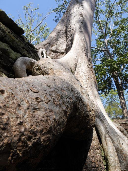 Aber an diesen Wurzeln kann man sich halt nicht sattsehen... Ta Prohm, Kambodscha (Foto Jörg Schwarz)
