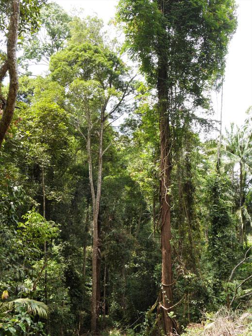 Man ist von George Town aus in kurzer Zeit mitten im Urwald... Penang Hill, Penang, Malaysia (Foto Jörg Schwarz)