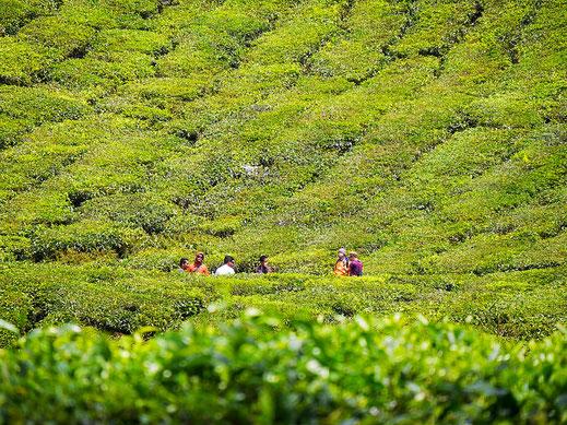 Gruppenfoto mit Tee... Cameron Highlands, Malaysia (Foto Jörg Schwarz)
