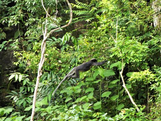 "Auch hier ""fliegen"" Affen in den Bäumen, Pulau Langkawi, Malaysia (Foto Jörg Schwarz)"