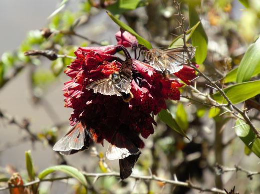 Und die nicht wirklich schönen Schmetterlinge/Falter nach der Metamorphose, Sorata, Bolivien (Foto Jörg Schwarz)