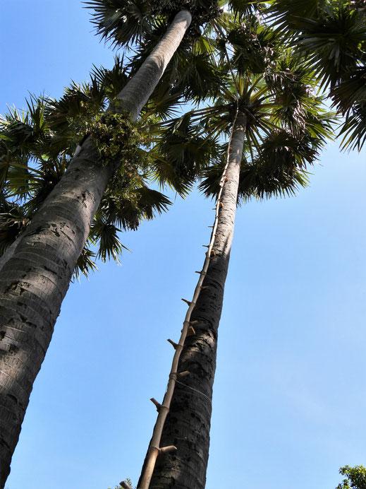 Die Palmyrapalme ist vielfach verwendbar, will aber erstmal bestiegen sein... Kompong Chhnang, Kambodscha (Foto Jörg Schwarz)