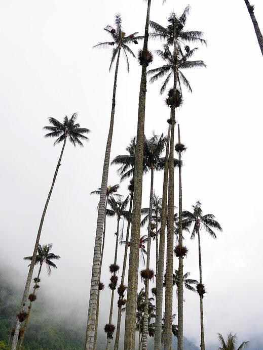 Himmelsstürmer, Wolkenkratzer oder was? Valle de Cocora, Kolumbien (Foto Jörg Schwarz)