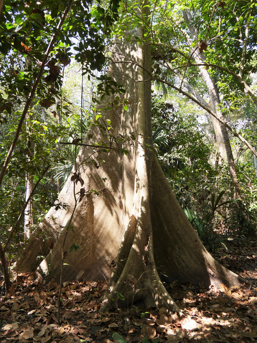 Wundervolles Wurzelwerk der Tropenbäume sieht man immer wieder, Tayrona Park, Kolumbien (Foto Jörg Schwarz)