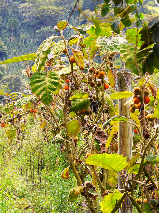 Der Anbau von Lulos in der Region ist typisch, San Augustín, Kolumbien (Foto Jörg Schwarz)