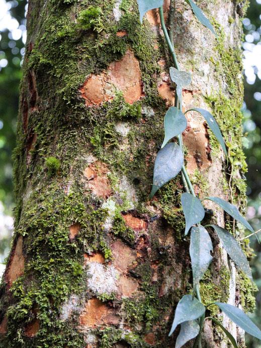 Der Geruch der Bäume ist einzigartig, Cameron Highlands, Malaysia (Foto Jörg Schwarz)