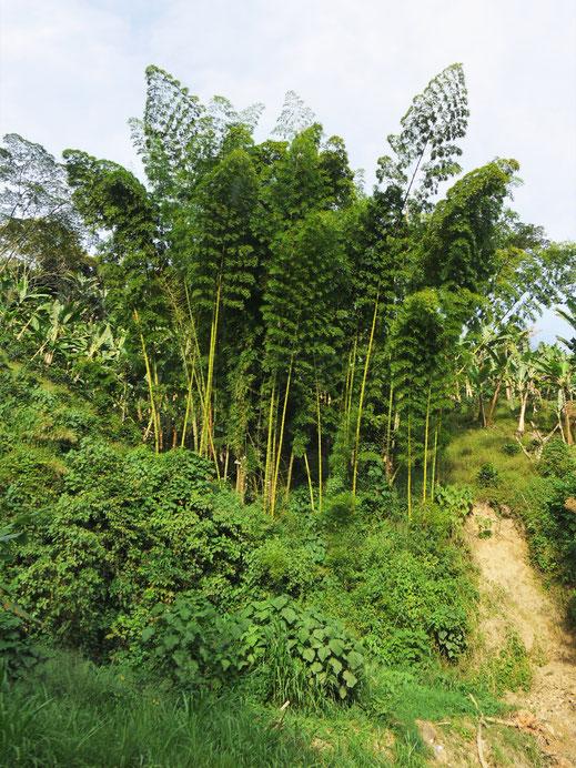 Immer wieder sehen wir diese wunderschönen Bambuspflanzen... Bei Manizales, Kolumbien (Foto Jörg Schwarz)
