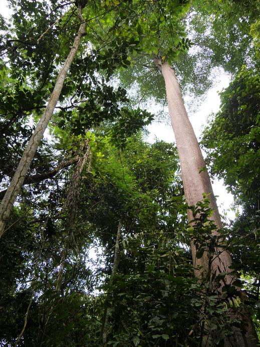 Es geht hoch hinauf in die Wipfel der Baumriesen, Taman Negara Nationalpark, Malaysia (Foto Jörg Schwarz)
