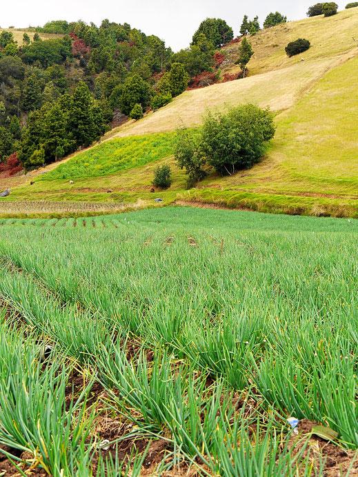 Frühlingszwiebeln - typisches Anbauprodukt am See, Lago de Tota, Kolumbien (Foto Jörg Schwarz)