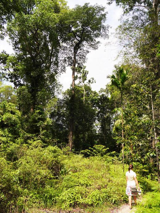 Man kann in dem Areal immer wieder - auch ganz ohne Blutegel - Wege in die Natur beschreiten, Taiping, Malaysia (Foto Jörg Schwarz)