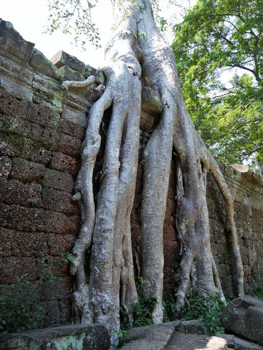 Auch hier zeigen sich beeindruckende Wurzelwerke... Preah Khan, Kambodscha (Foto Jörg Schwarz)