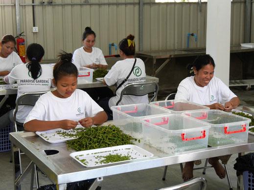 Exportschlager Nr. 1: Pfeffer - hier Pfeffersortierung, Kampot, Kambodscha (Foto Jörg Schwarz)