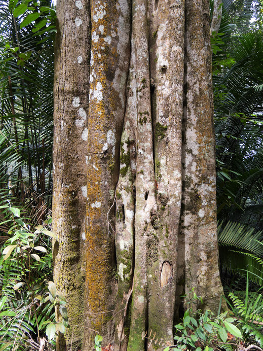 Es stehen hier fantastische Bäume... Penang Hill, Penang, Malaysia (Foto Jörg Schwarz)