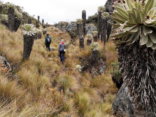 Die Pflanzen hier haben teilweise mehr als 300 Jahre auf dem Buckel... Páramo de Ocetá, bei Monguí, Kolumbien (Foto Jörg Schwarz)