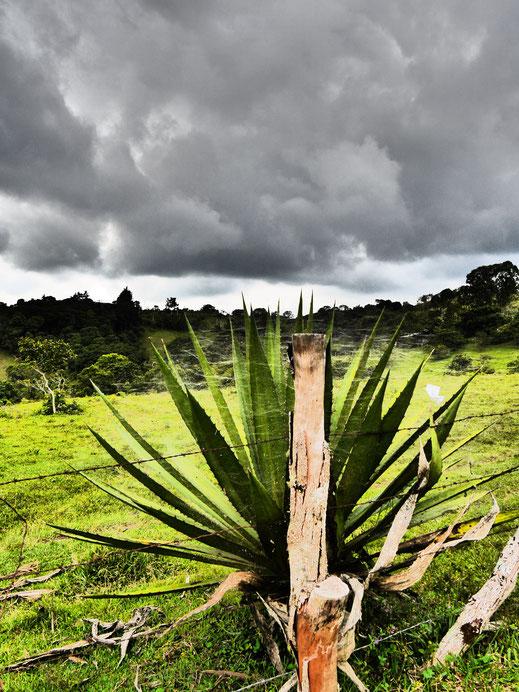 Eine der Agarve verwandte Kakteenart im Dramatic Modus, San Augustin, Kolumbien (Foto Jörg Schwarz)