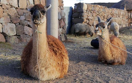 Lamas, aus der Familie der Kamele, Sillustani, Peru (Foto Jörg Schwarz)