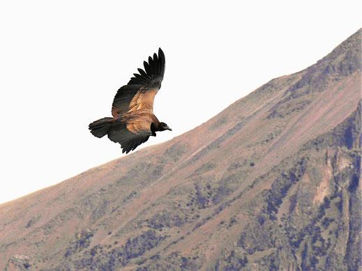 Wie grazil diese Riesen schweben und gleiten ist klasse... Cruz del Condor, Peru (Foto Jörg Schwarz)