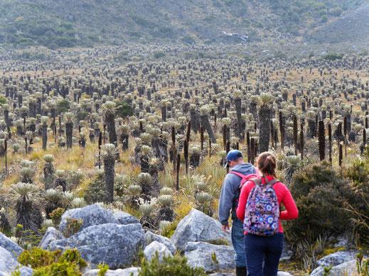 Im Tal wimmelt es vor Frailejones, El Cocuy Nationalpark, Kolumbien (Foto Jörg Schwarz)