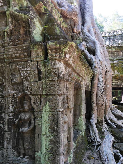 Zahlreiche Wurzeln von Urwaldbäumen zieren die Anlage und sind begehrte Fotoobjekte... Ta Prohm, Kambodscha (Foto Jörg Schwarz)
