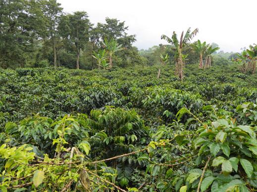Die heute feucht-nasse Kaffeeplantage, bei Armenia, Kolumbien (Foto Jörg Schwarz)