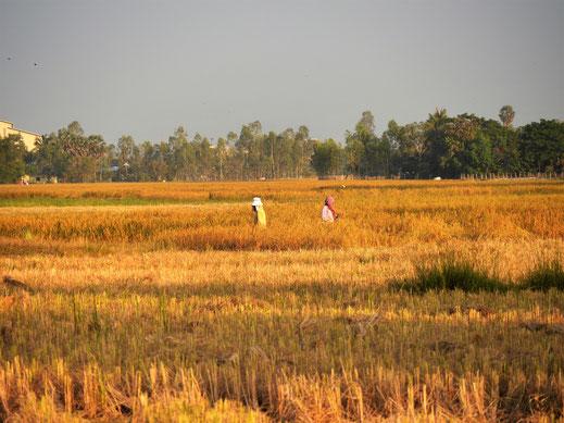 Arbeit bis zum späten Sonnenuntergang und darüber hinaus... Bei Takeo, Kambodscha (Foto Jörg Schwarz)