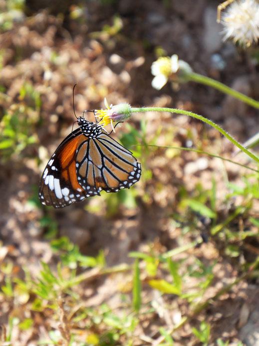 Es gibt noch wundervolle Schmetterlinge... Bei Siem Reap, Kambodscha (Foto Jörg Schwarz)
