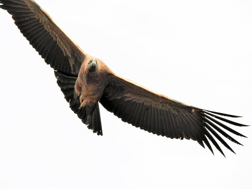 Die Drehung war zu schnell für mich - aber das ist mal ein Exemplar... Cruz del Condor, Peru (Foto Jörg Schwarz)