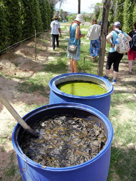 Zur Schädlingsbekämpfung werden hier nur natürliche Substanzen eingesetzt: Zum Beispiel Brennesselsud... Region Kampot/Kep, Kambodscha (Foto Jörg Schwarz)