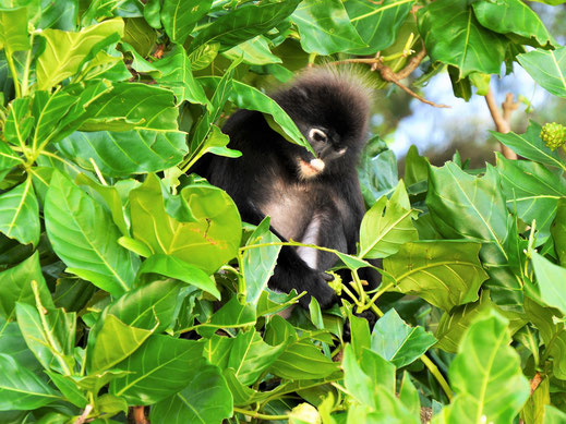 Darauf haben es die Languren abgesehen: Offenbar schmackhafte Früchte... Pulau Perhentian Besar, Malaysia (Foto Jörg Schwarz)